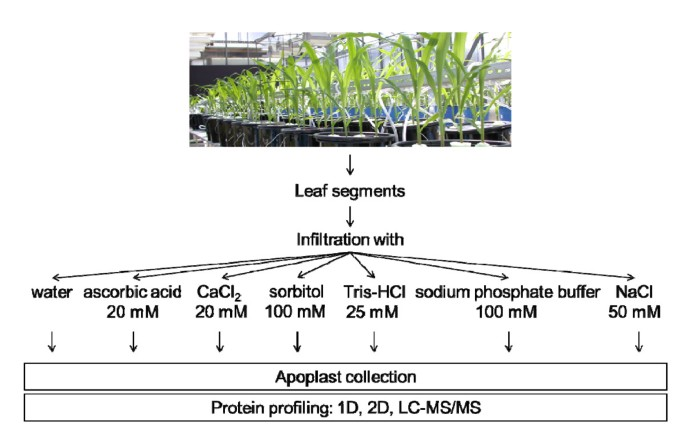 Comparative evaluation of extraction methods for apoplastic ...