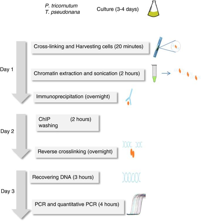 Protocol: Chromatin immunoprecipitation (ChIP) methodology