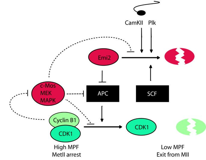 How eggs arrest at metaphase II: MPF stabilisation plus APC