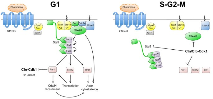 An overview of Cdk1-controlled targets and processes | Cell Division