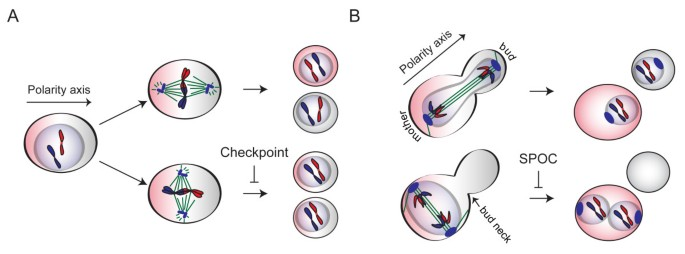 Monitoring spindle orientation: Spindle position checkpoint in