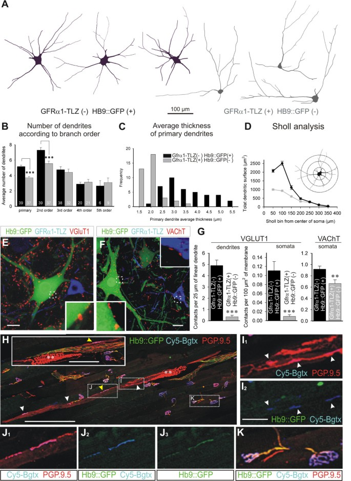 Gamma motor neurons express distinct genetic markers at
