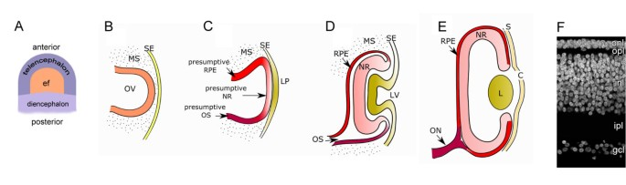 Rediscovering the chick embryo as a model to study retinal