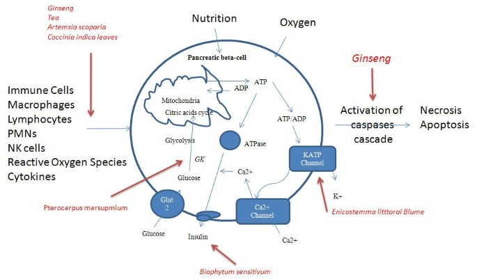 Hypoglycemic herbs and their action mechanisms | Chinese