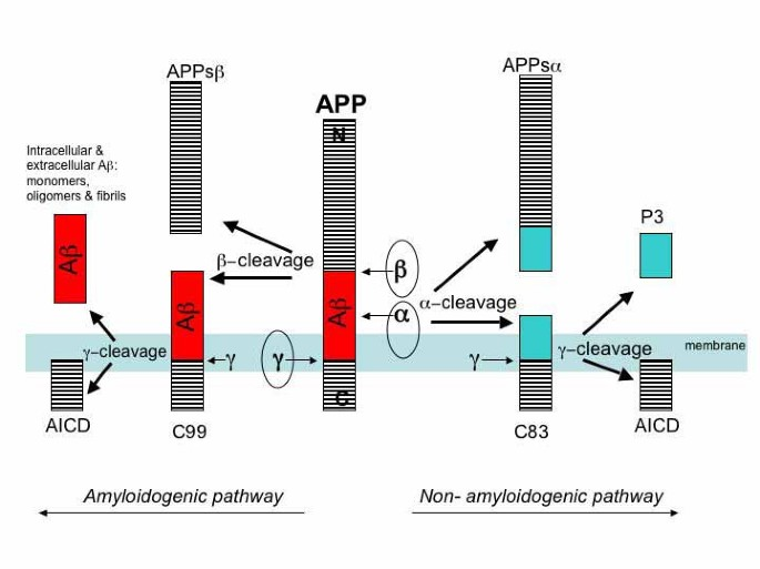 The Alzheimer's disease β-secretase enzyme, BACE1
