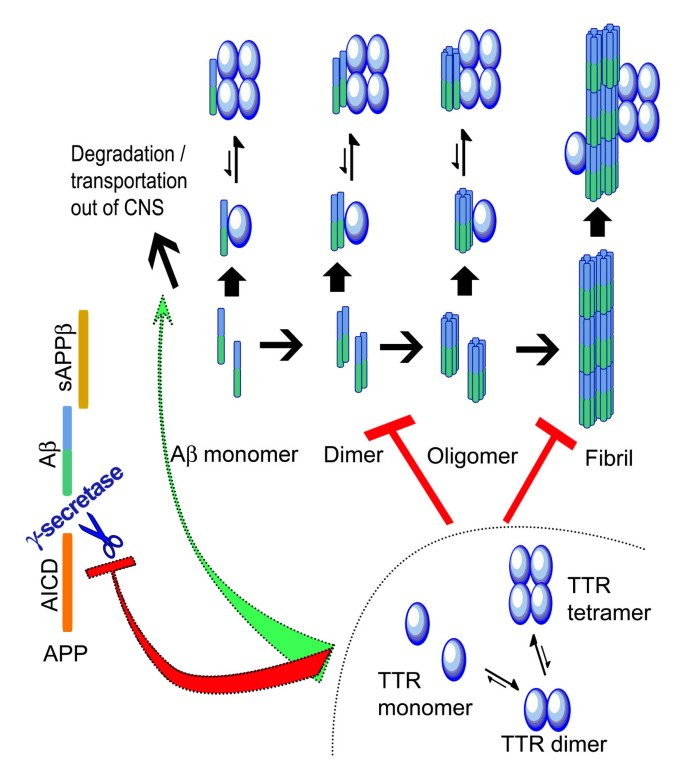 Transthyretin and the brain re-visited: Is neuronal