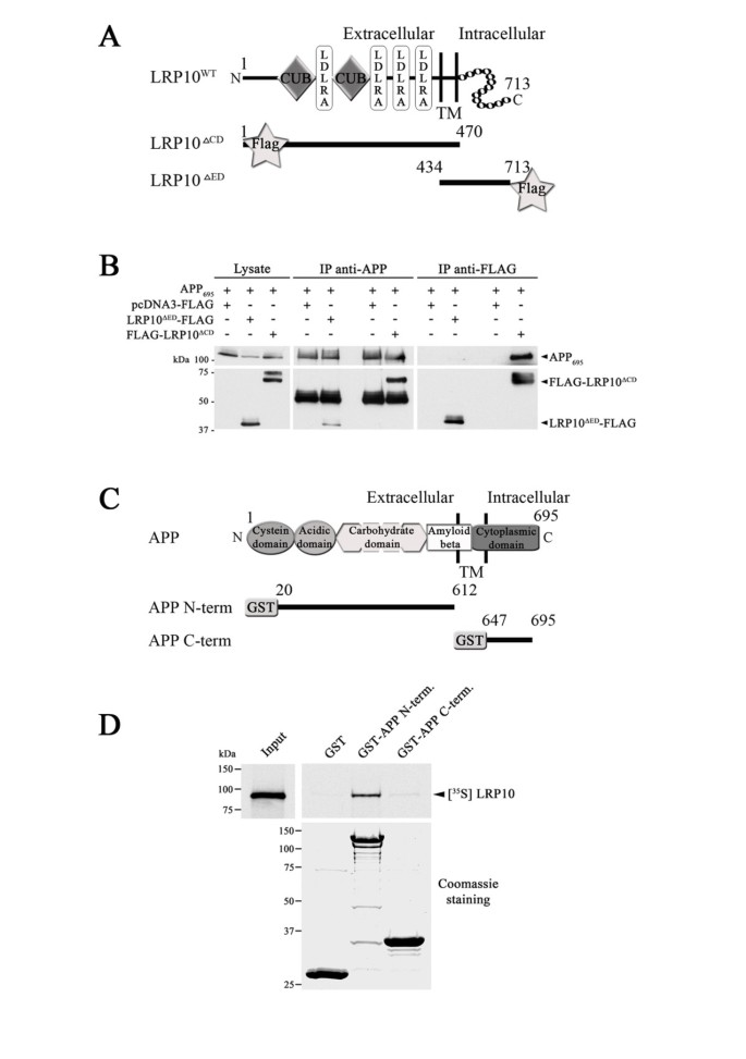 LDLR-related protein 10 (LRP10) regulates amyloid precursor ...