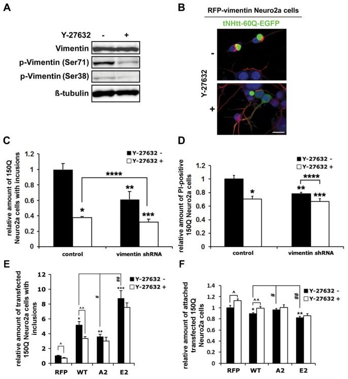 ROCK-phosphorylated vimentin modifies mutant huntingtin