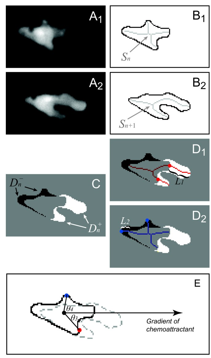 Automated characterization of cell shape changes during