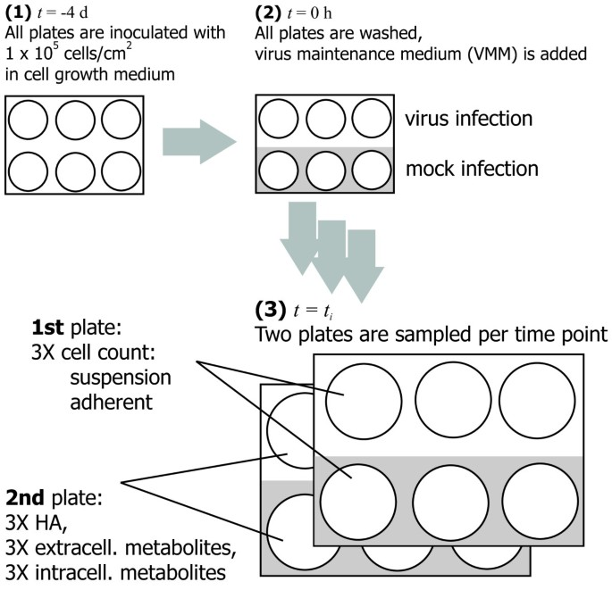 Metabolic effects of influenza virus infection in cultured