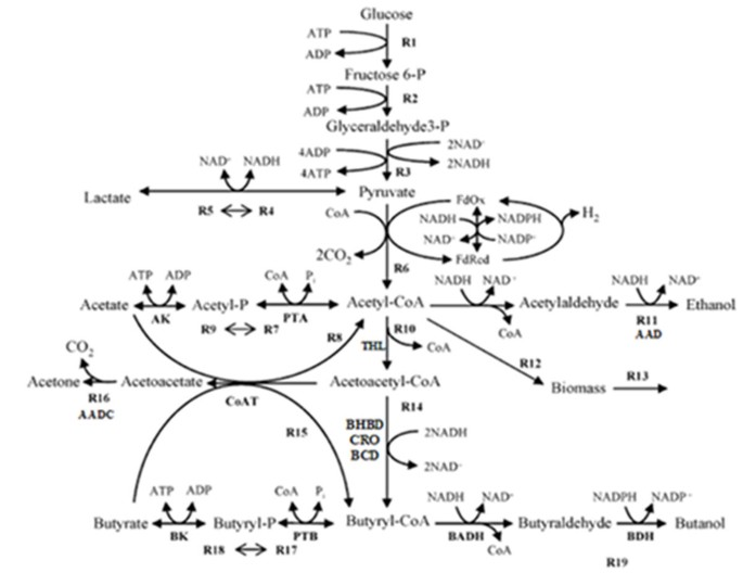 An improved kinetic model for the acetone-butanol-ethanol pathway of