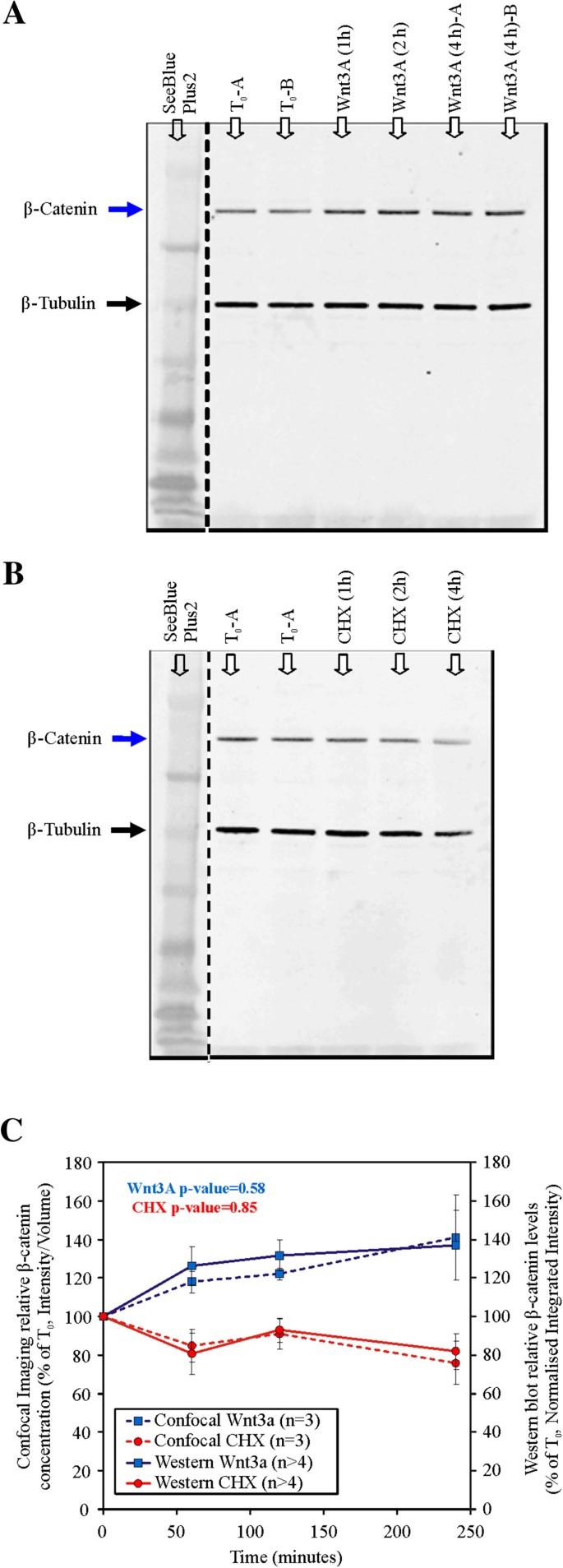 Analysis of Wnt signaling β-catenin spatial dynamics in HEK293T