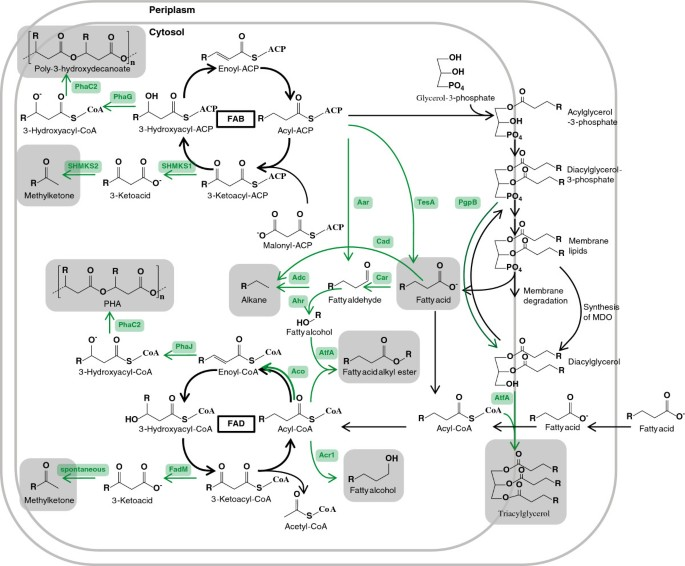 Fatty acid synthesis in Escherichia coli and its