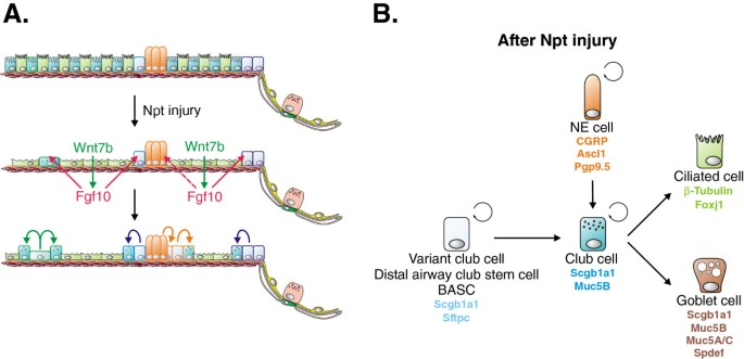 Lung epithelial stem cells and their niches: Fgf10 takes