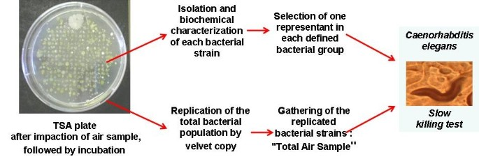 Caenorhabditis elegans : a model to monitor bacterial air