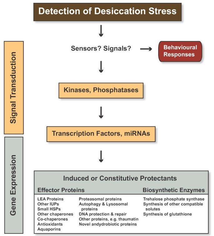A molecular analysis of desiccation tolerance mechanisms in the