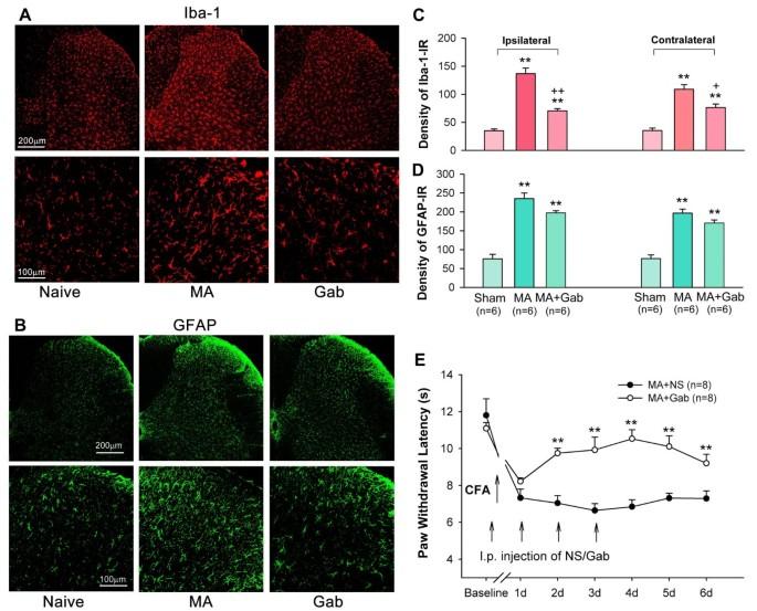 Gabapentin reduces CX3CL1 signaling and blocks spinal