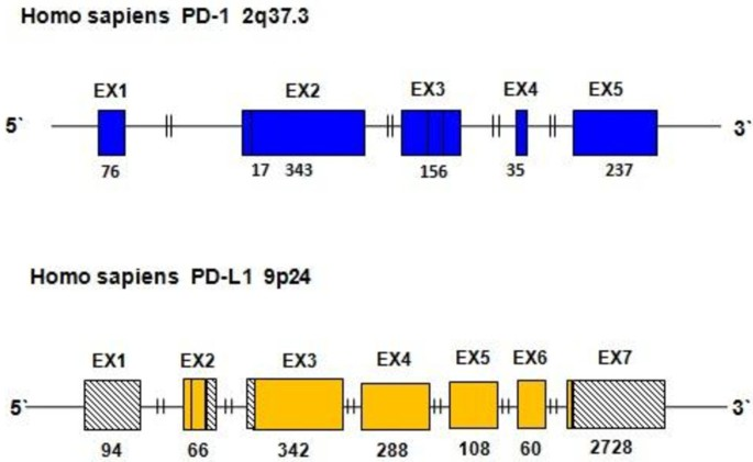 The role of PD-1 and PD-L1 in T-cell immune suppression in patients