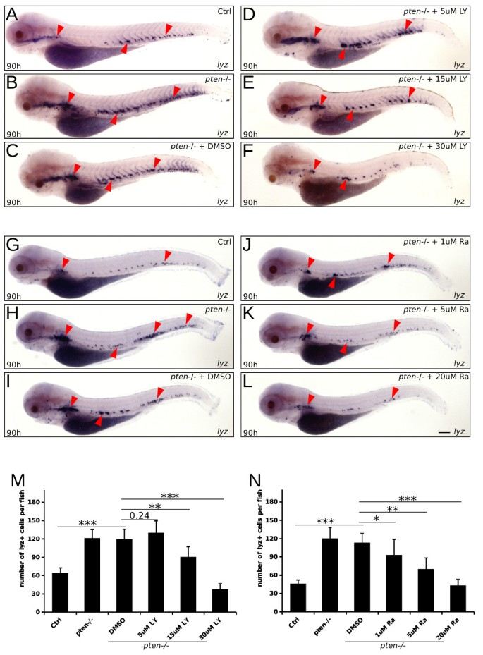 Pten regulates homeostasis and inflammation-induced migration of