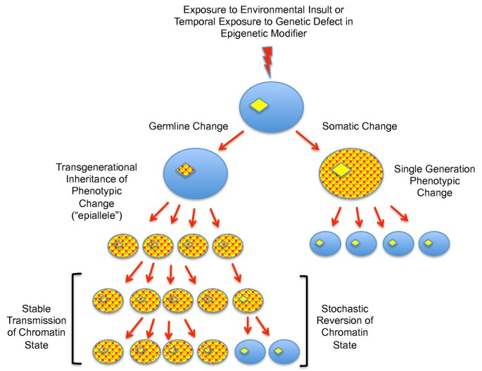 Transgenerational epigenetics in the germline cycle of
