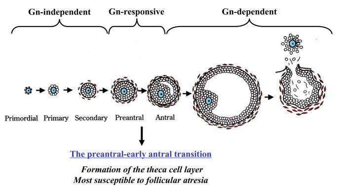 Oocyte-granulosa-theca cell interactions during preantral follicular