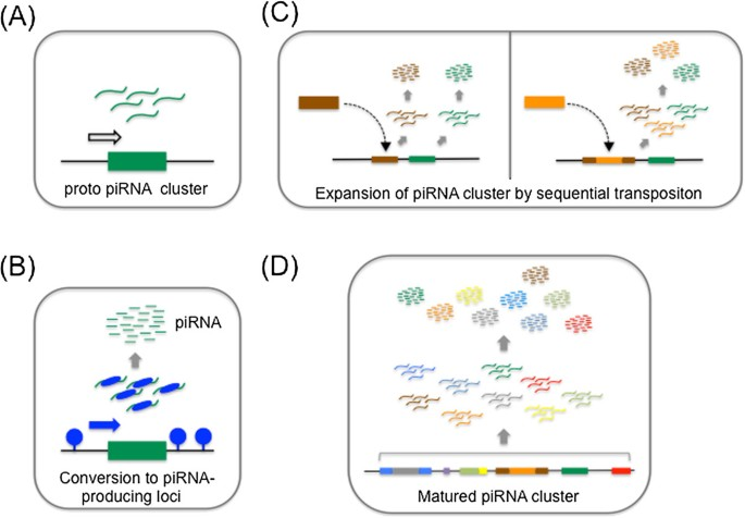 piRNA clusters and open chromatin structure | Mobile DNA