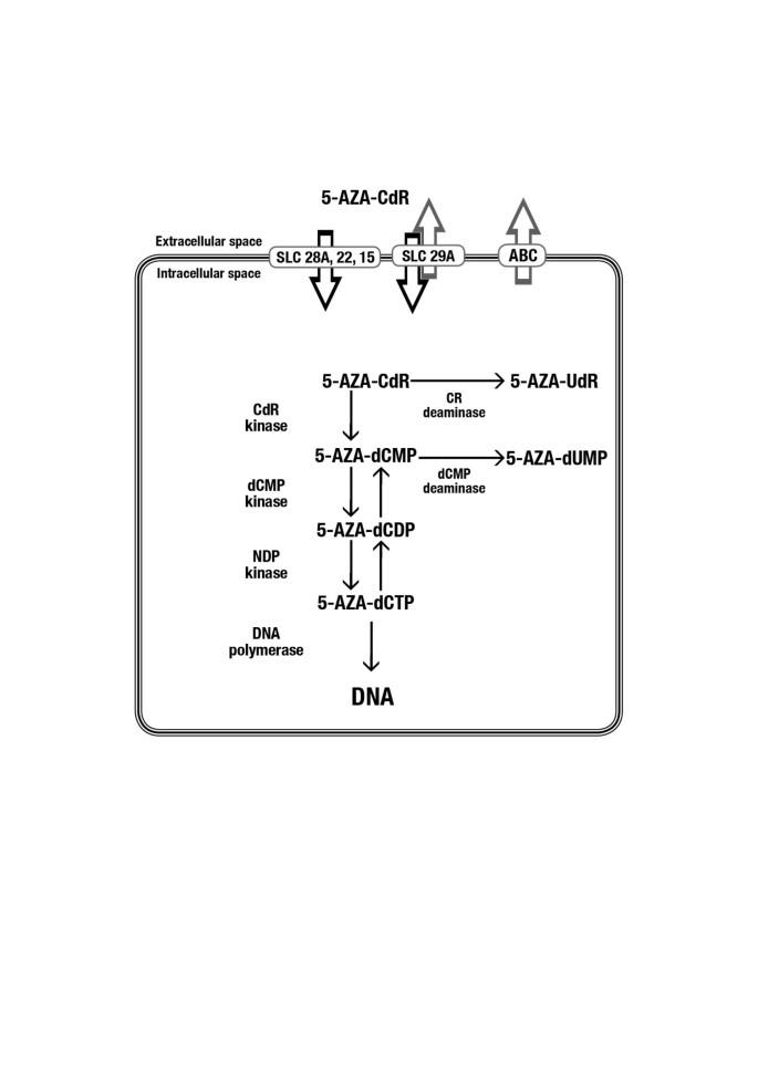 Pharmacokinetic and pharmacodynamic analysis of 5-aza-2