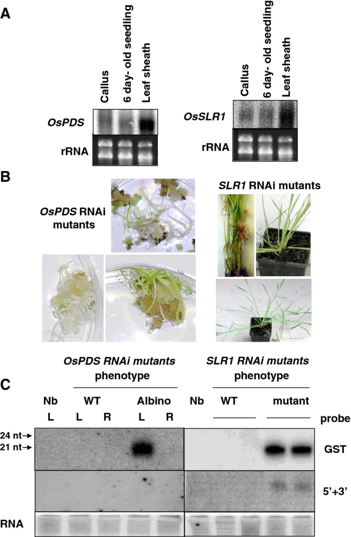 An in planta , Agrobacterium -mediated transient gene expression