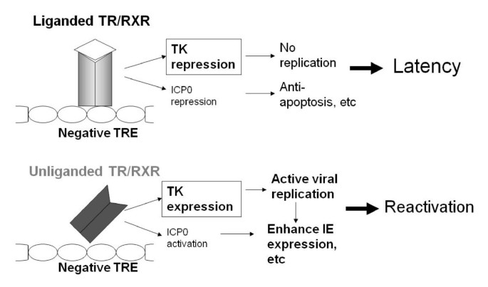 Effects of thyroid hormone on HSV-1 gene regulation