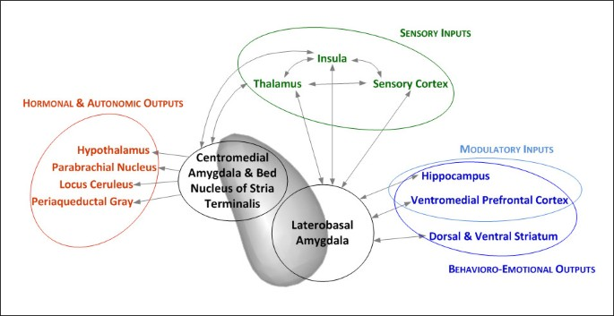 The role of the amygdala in the pathophysiology of panic