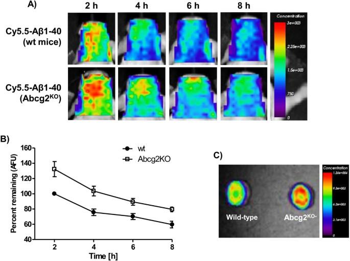 Blood-brain barrier transport of amyloid beta peptides in efflux