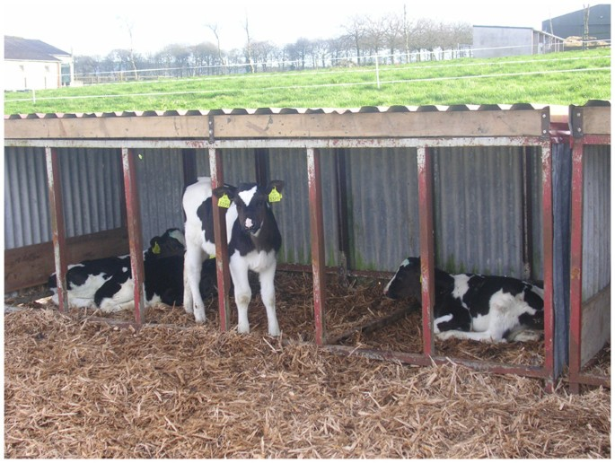 Effect of milk feed source, frequency of feeding and age at