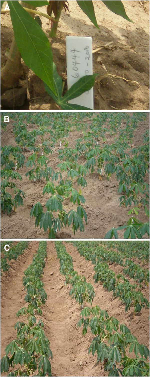 Developing GM super cassava for improved health and food