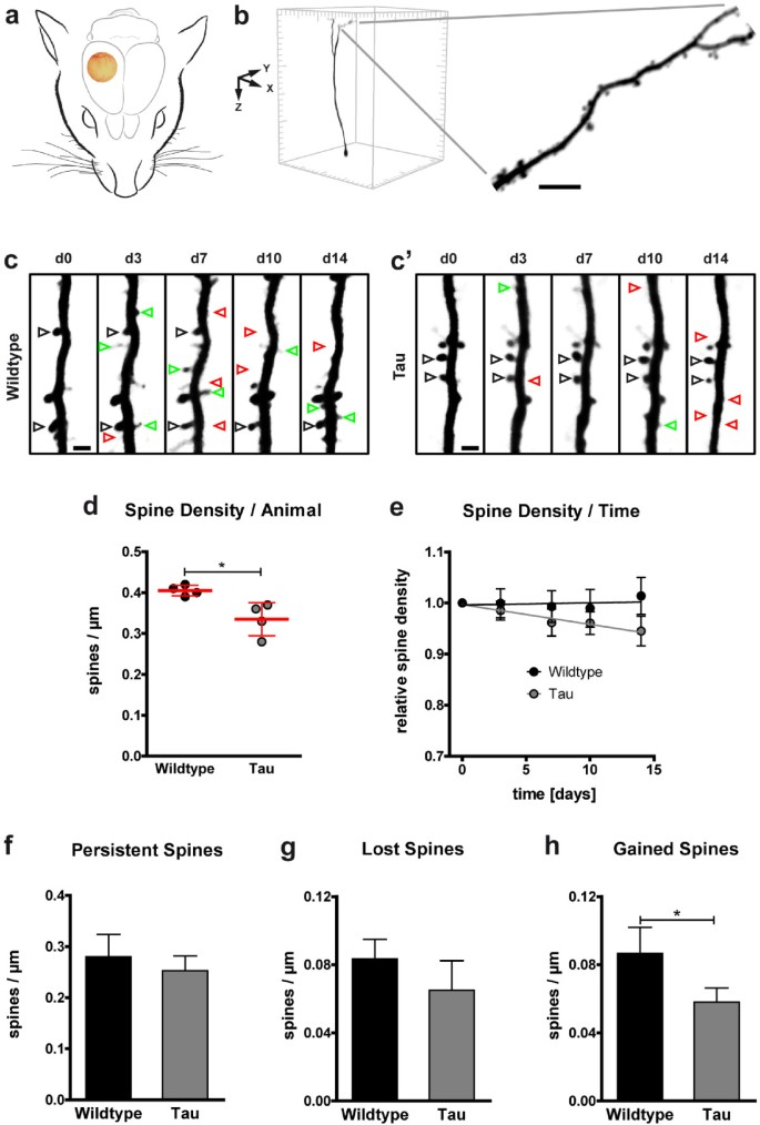 Impaired plasticity of cortical dendritic spines in P301S