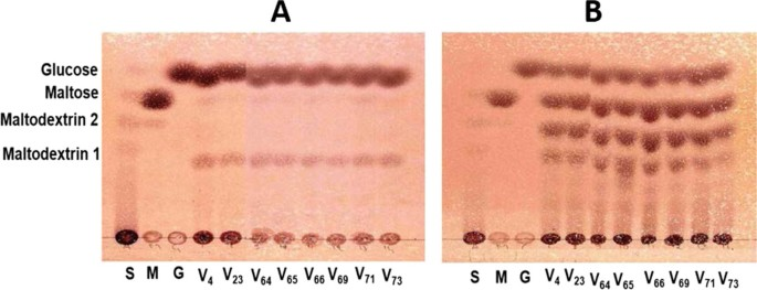 Enzymatic and acid conversion of new starches from improved orphan