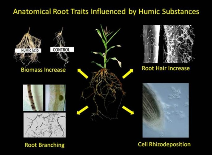 Physiological responses to humic substances as plant growth