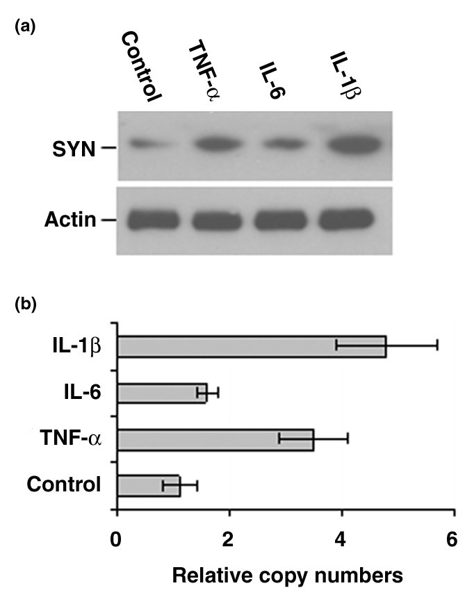 The proinflammatory cytokines IL-1β and TNF-α induce the