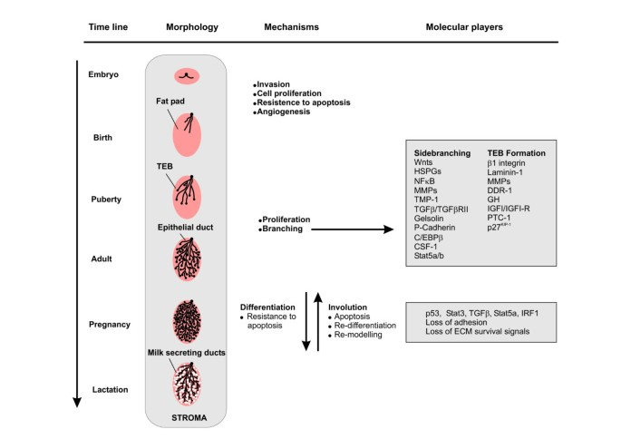Mouse models of breast cancer metastasis | Breast Cancer Research
