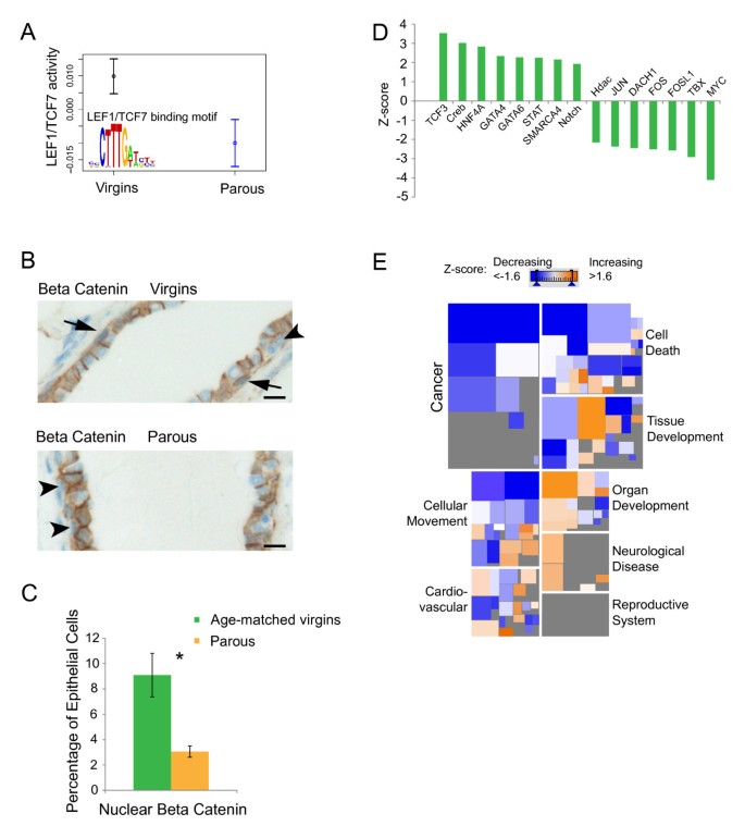 Parity induces differentiation and reduces Wnt/Notch signaling ratio