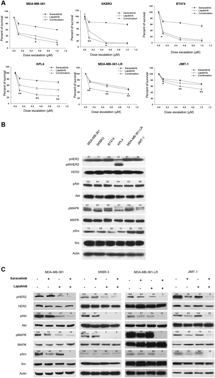 Epidermal growth factor-receptor activation modulates Src