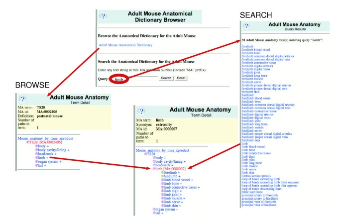 The Adult Mouse Anatomical Dictionary: a tool for annotating