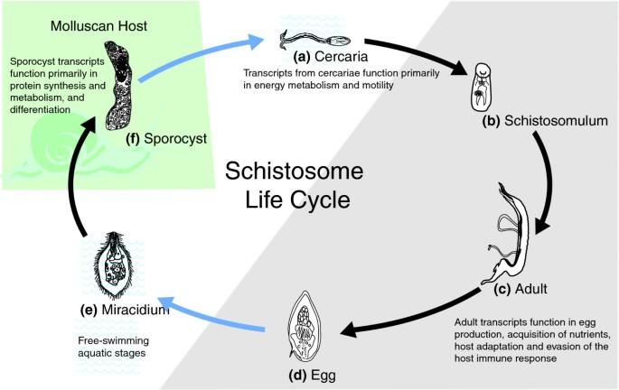 helminths parasitic adaptation