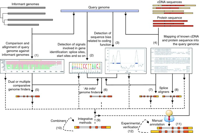 Identifying protein-coding genes in genomic sequences