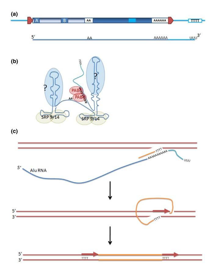 Alu elements: know the SINEs | Genome Biology | Full Text