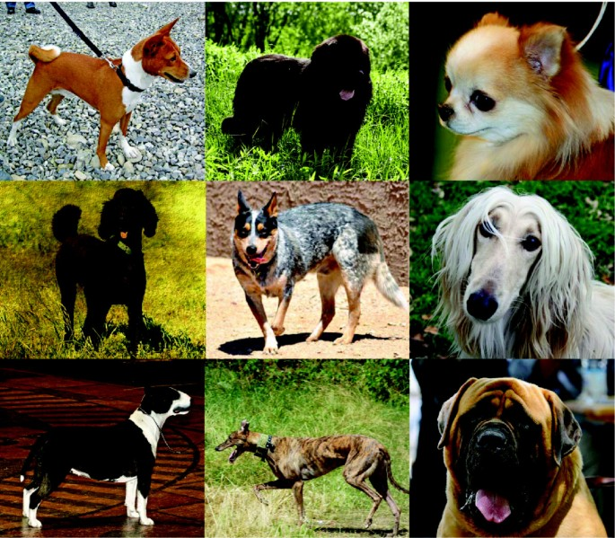 The domestic dog: man's best friend in the genomic era
