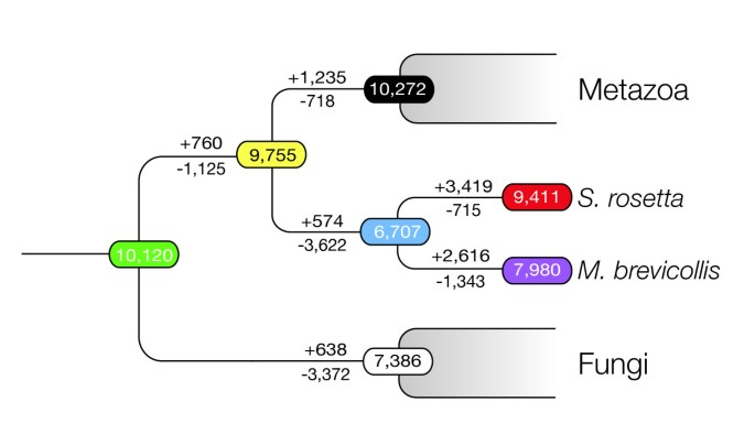 Premetazoan genome evolution and the regulation of cell