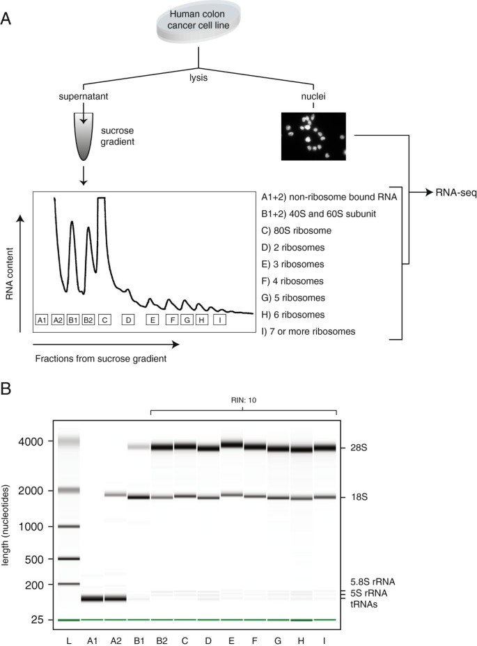 Extensive localization of long noncoding RNAs to the cytosol