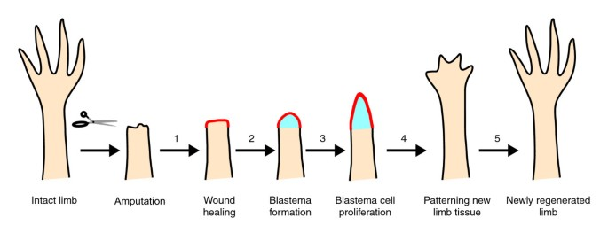 Limb regeneration revisited | Journal of Biology | Full Text