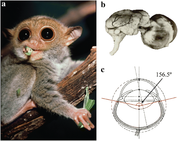 Tarsier Goggles : a virtual reality tool for experiencing the optics