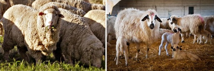 High Resolution Analysis Of Selection Sweeps Identified Between Fine Wool Merino And Coarse Wool Churra Sheep Breeds Genetics Selection Evolution Full Text